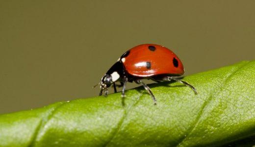 よく家の中にいる黒いてんとう虫みたいな虫の名前は?害虫で駆除が必要?
